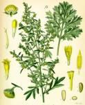 Полынь горькая (Artemisia absinthium L.). Лекарственным...